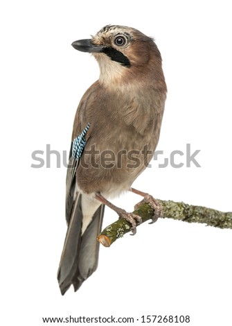 Eurasian Jay perching on a branch, Garrulus glandarius, isolated on white