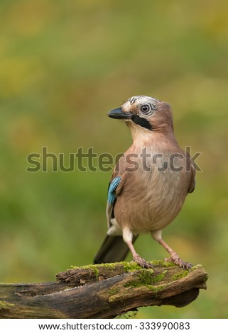 Eurasian jay standing on a stump / eurasian jay