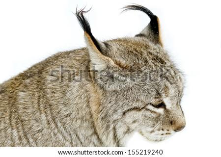 Eurasian lynx - stock photo
