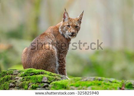 Eurasian Lynx,  - stock photo