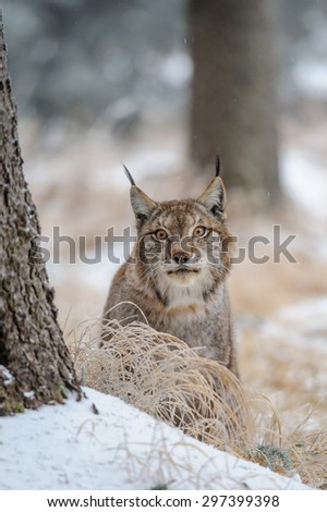 Eurasian lynx between trees in winter time. Yellow grass in cold freeze time - stock photo