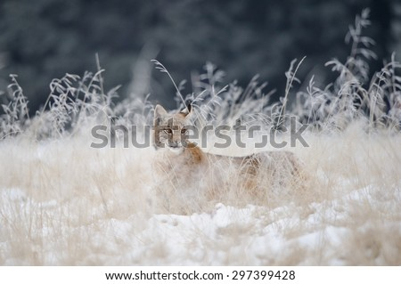 Eurasian lynx cub hidden in high yellow grass with snow. Cold winter season. Freezy weather. - stock photo