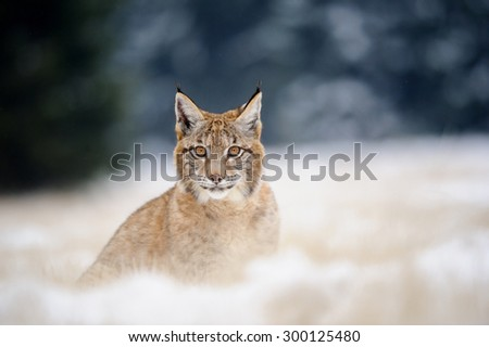 Eurasian lynx cub sitting on snowy ground. Cold winter season. Freezy weather. - stock photo