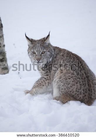 Eurasian lynx cub sitting on snowy ground.Winter forest.Norway. - stock photo