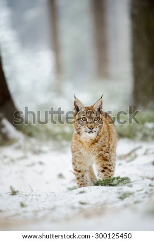 Eurasian lynx cub standing in winter colorful forest with snow.  Freeze cold season. - stock photo
