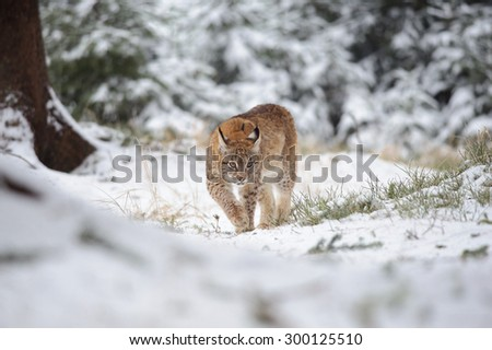 Eurasian lynx cub walking in winter colorful forest with snow. Green trees in background. Freeze cold season. - stock photo