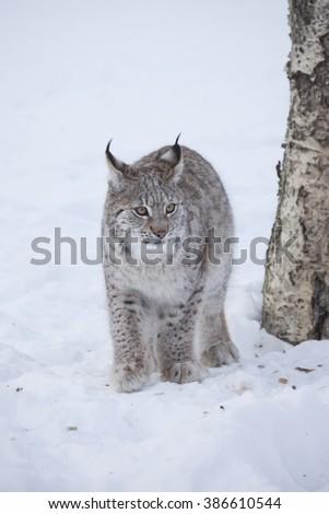Eurasian lynx cub walking on snow.Norway. - stock photo