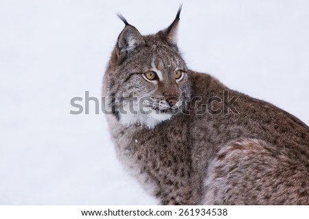 Eurasian Lynx in the snow - stock photo