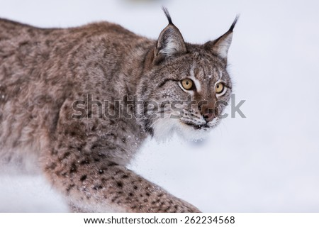 Eurasian Lynx in the snow stepping forward - stock photo
