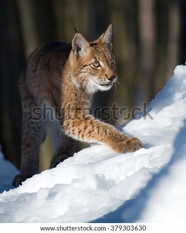Eurasian lynx in the winter forest. - stock photo