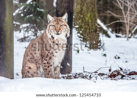 Eurasian Lynx lying and looking into camera (Lynx lynx carpathicus) - stock photo