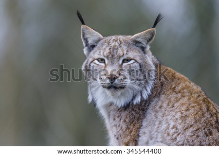 eurasian lynx, Lynx lynx - stock photo