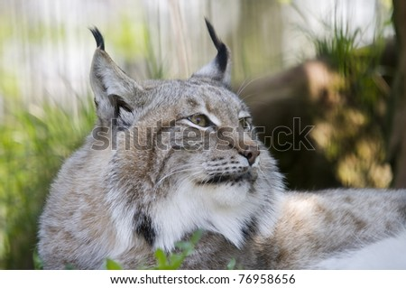 Eurasian Lynx - (Lynx lynx) - stock photo