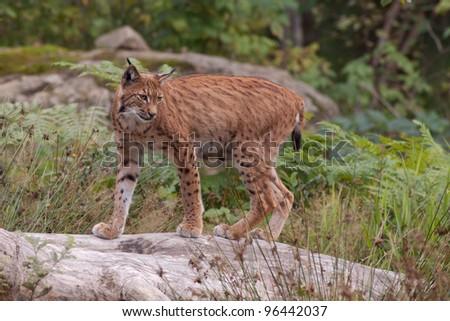 Eurasian lynx (Lynx lynx) - stock photo