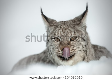 Eurasian Lynx (Lynx lynx). A Eurasian Lynx lying in deep snow licking its' lips after eating. - stock photo