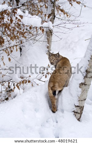 Eurasian lynx (Lynx lynx) on the snow near a birch tree. The lynx was chosen as the emblem of the Accademia dei Lincei (Lincean Academy - Italy), one of the world's oldest scientific societies. - stock photo