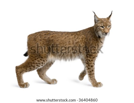 Eurasian Lynx, lynx lynx, 5 years old, standing in front of white background, studio shot - stock photo