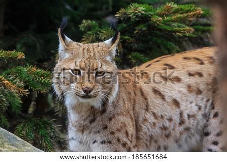 Eurasian lynx portrait - stock photo