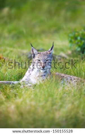 Eurasian lynx rests in the green grass. - stock photo