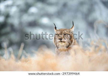 Eurasian lynx sitting on ground in winter time on yellow grass. Green white forest in background. - stock photo