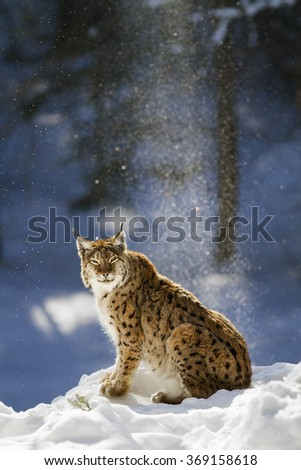 Eurasian lynx sitting on snow  with snowflakes in the blue background.. - stock photo