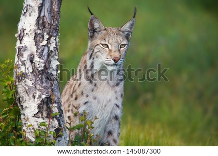 Eurasian lynx standing by a tree in the green grass. - stock photo
