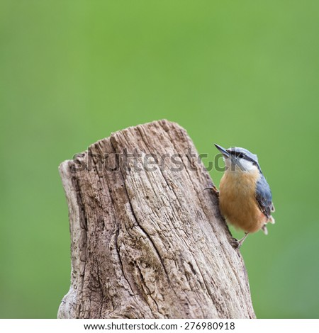 Eurasian nuthatch in tree trunk - stock photo