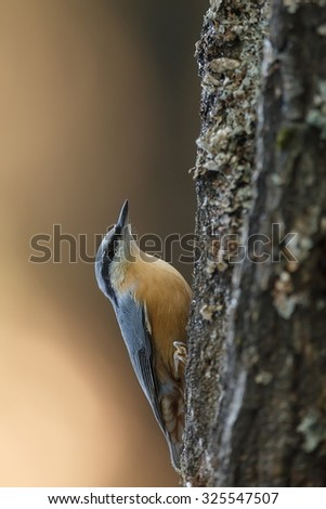 Eurasian nuthatch jumping on the bark tree