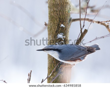 Eurasian nuthatch or wood nuthatch (Sitta europaea) in habitat at winter time