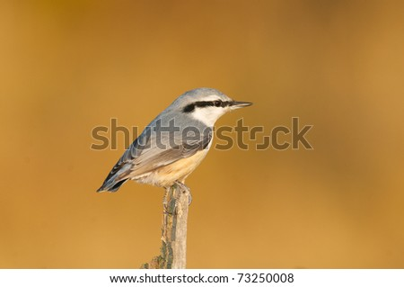 Eurasian Nuthatch, Sitta europaea, on algae covered stick with brown or tan background