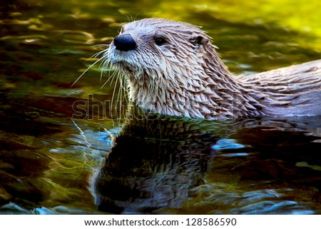 Eurasian Otter (Lutra lutra), a species of semiaquatic mammals - stock photo