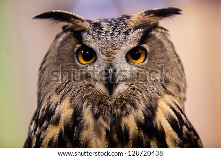 Eurasian Owl - stock photo