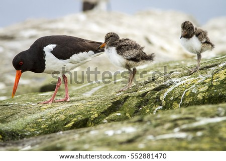 Eurasian Oystercatcher, adult and chick, Farne Islands, United Kingdom.