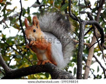 Eurasian red squirrel eating on the tree - stock photo