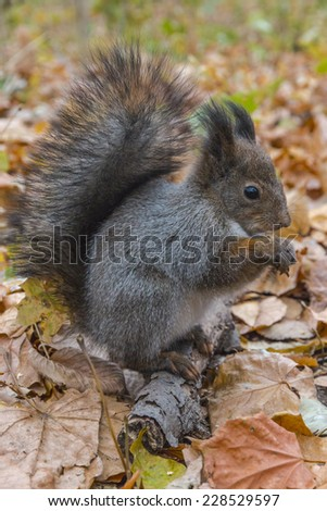 Eurasian red squirrel gnaws nut