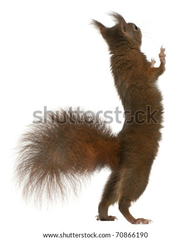 Eurasian red squirrel on hind legs, Sciurus vulgaris, 4 years old, in front of white background - stock photo