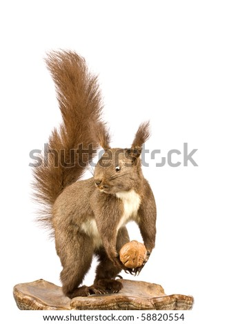 Eurasian red squirrel - Sciurus vulgaris in front of a white background - stock photo