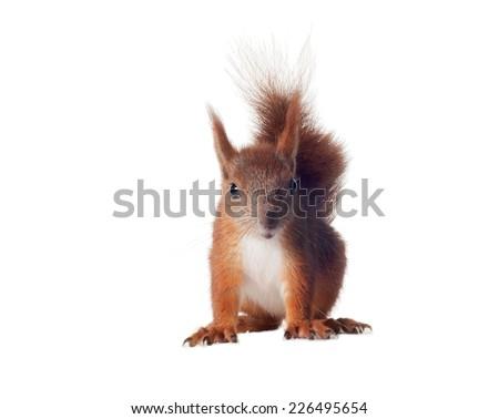 Eurasian red squirrel - Sciurus vulgaris isolated white background - stock photo
