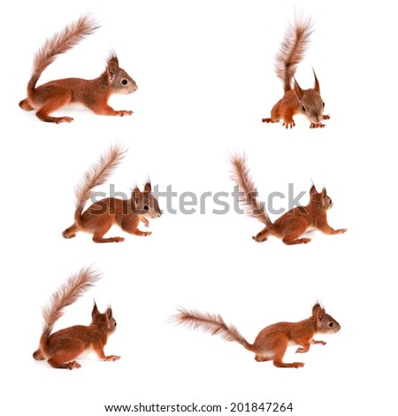 Eurasian red Squirrel, Sciurus Vulgaris on white - stock photo