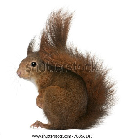 Eurasian red squirrel, Sciurus vulgaris, 4 years old, in front of white background