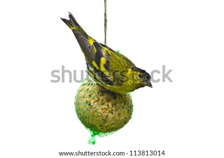 Eurasian siskin feeding on a giant fat ball with seeds isolated on white - stock photo