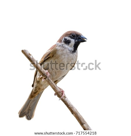 Eurasian Tree Sparrow or Passer montanus, beautiful brown bird isolated eating some food on branch with white background.
