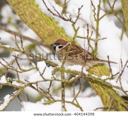 Eurasian tree sparrow sitting in a snow covered tree