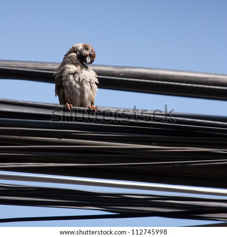 Eurasian Tree Sparrow sitting on a power cable, cleaning itself - Vietnam - stock photo