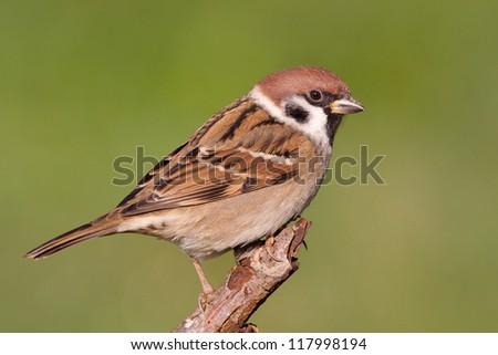 Eurasian Tree Sparrow sitting on a stick - stock photo