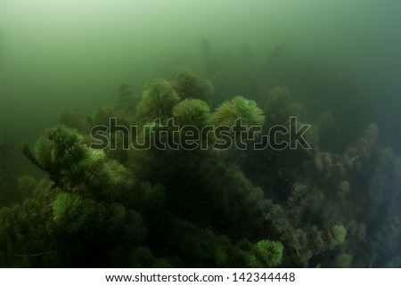 Eurasian watermilfoil, underwater plant in green and dark canal water. - stock photo