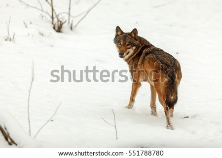 Eurasian wolf and winter snowy scenery