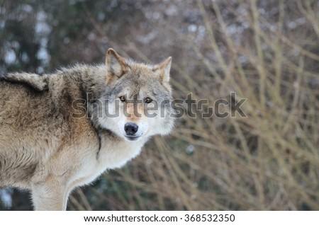 Eurasian Wolf (Canis Lupis Lupis) - stock photo