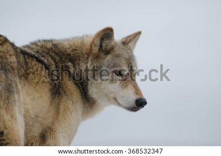 Eurasian Wolf (Canis Lupis Lupis), isolated on white background