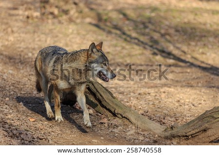 Eurasian wolf close up - stock photo